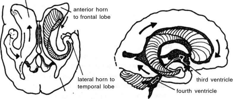anterior horn to frontal lobe lateral horn to temporal lobe third ventricle fourth ventricle