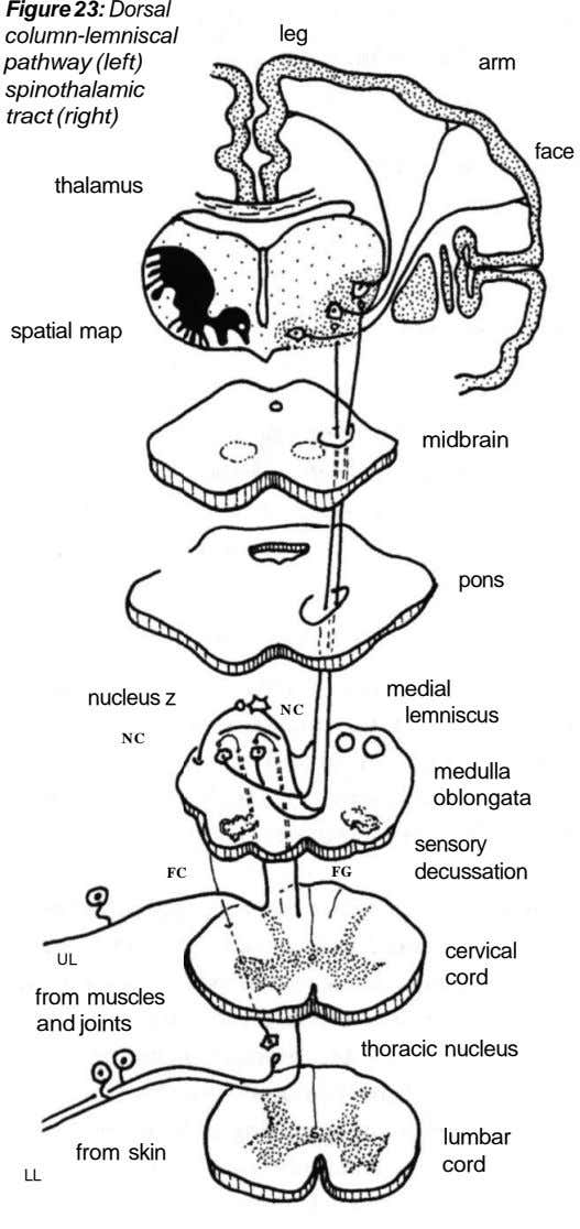 Figure 23: Dorsal column-lemniscal pathway (left) spinothalamic tract (right) leg arm face thalamus spatial map