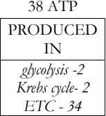 38 ATP PRODUCED IN glycolysis -2 Krebs cycle- 2 ETC - 34
