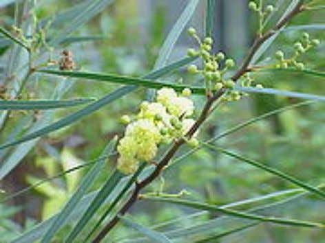 is- lands species, the leaflets are suppressed, 2 Acacia Acacia retinodes Acacia dealbata and the leaf-stalks