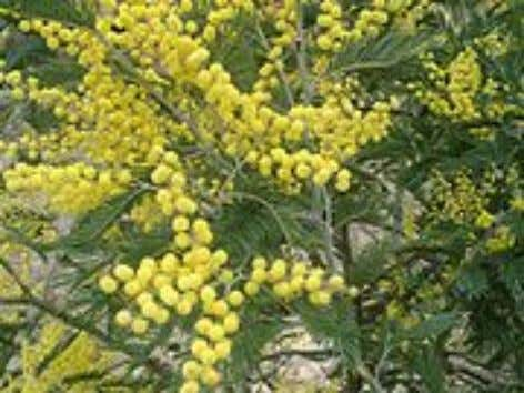 the leaflets are suppressed, 2 Acacia Acacia retinodes Acacia dealbata and the leaf-stalks ( petioles )
