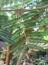 From Wikipedia, the free encyclopedia Acacia Acacia seyal DMT, in the leaf. [22] Ether extracts about