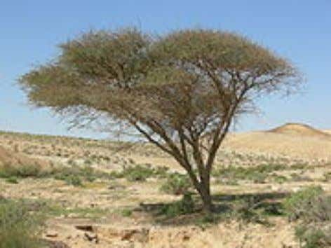 ing on Acacia include Brown-tail , Endoclita Acacia Acacia tree near the end of its range
