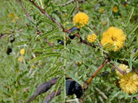 Egyptians used Acacia in paints and stuff. [10] Perfume Acacia farnesiana Acacia farnesiana is used in