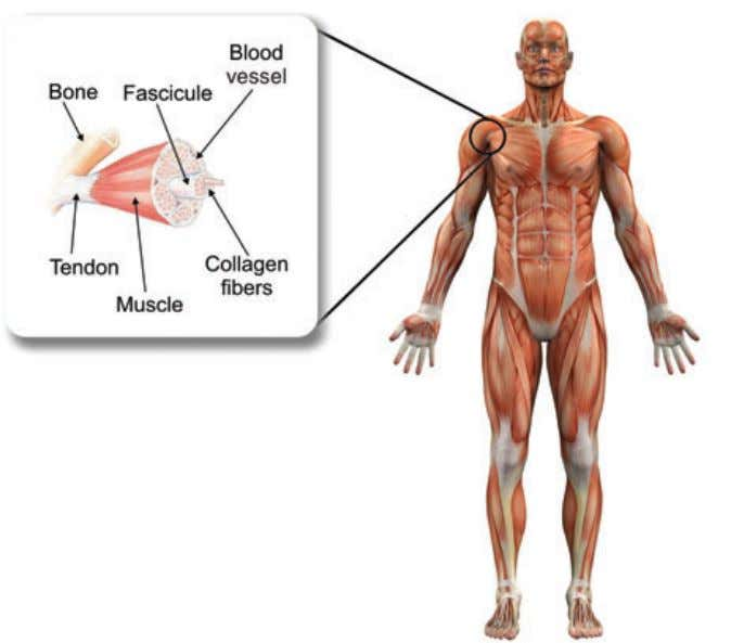 our tendons require a large amount of collagen, especially after an injury or because of the