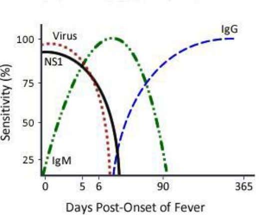 week & remain for a longer period (for many years). Infeksi Primer Secondary infection: • IgG: