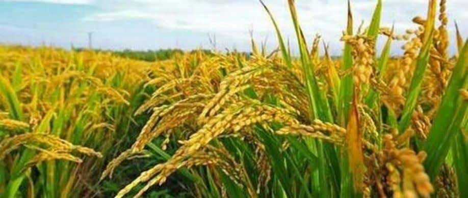 wild grass turned into domesticated rice OUR BUREAU T+ T- NCBS scientists identify the molecule that