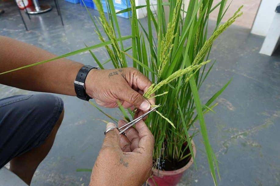 Helping farmers reap bumper rice harvest Above: Rice plant being prepared for a pollination process