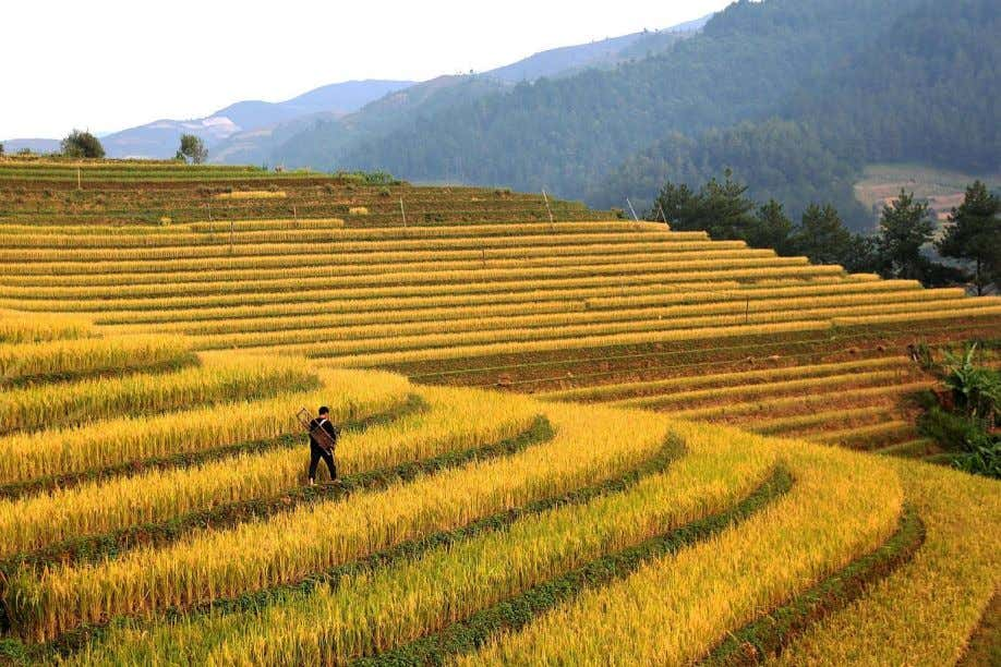 Prof Furbank's team are putting those genes into plants. Above: Rice fields in Vietnam's northern agricultural