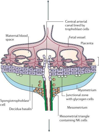 Central arterial canal lined by trophoblast cells Maternal blood Fetal vessel space Placenta Myometrium Junctional