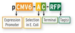 p CMV6 - A C - RFP Expression Selection in E. Coli Terminal Tag(s) Promoter