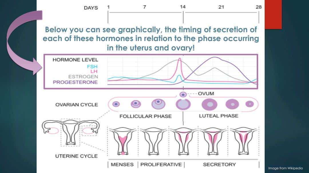Below you can see graphically, the timing of secretion of each of these hormones in