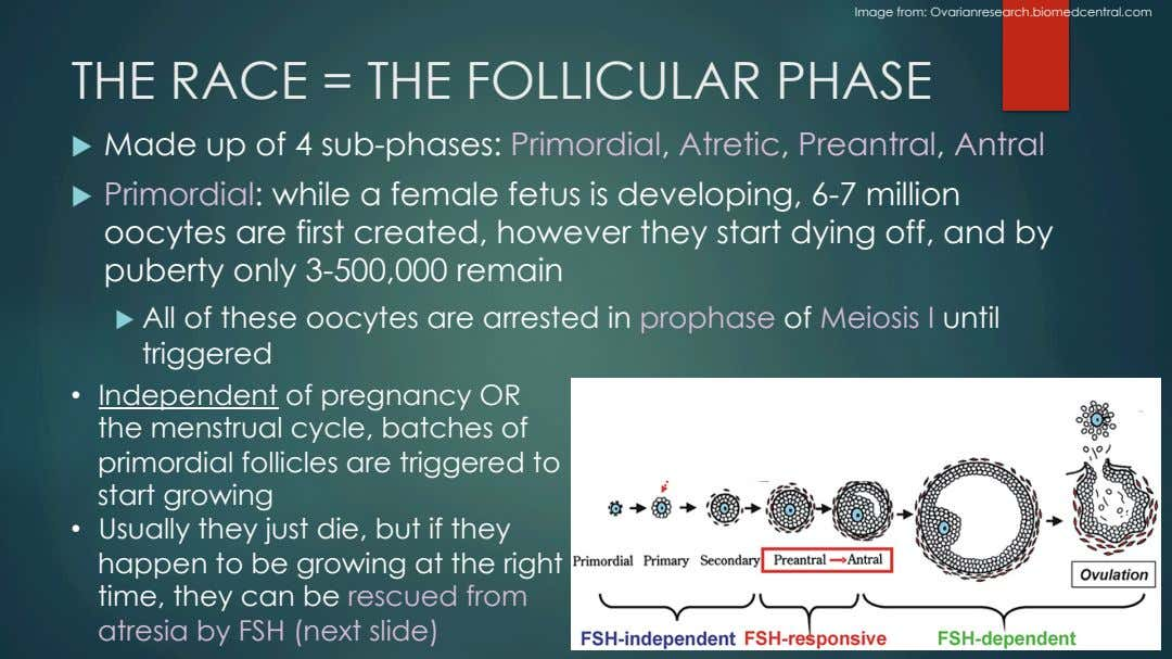 Image from: Ovarianresearch.biomedcentral.com THE RACE = THE FOLLICULAR PHASE u   Made up of 4