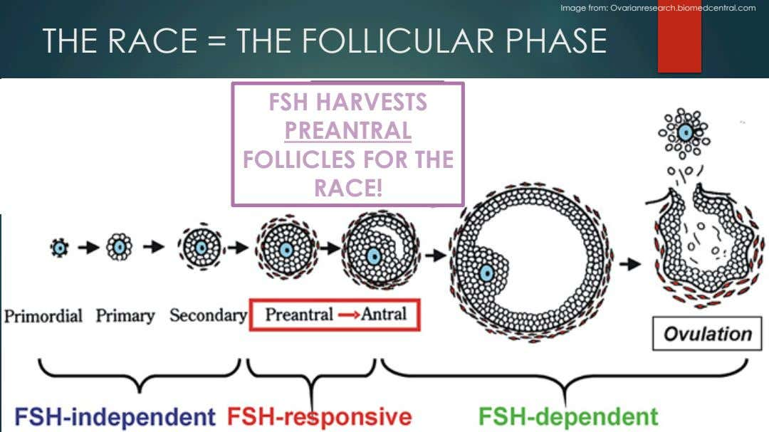 Image from: Ovarianresearch.biomedcentral.com THE RACE = THE FOLLICULAR PHASE FSH HARVESTS PREANTRAL FOLLICLES FOR THE