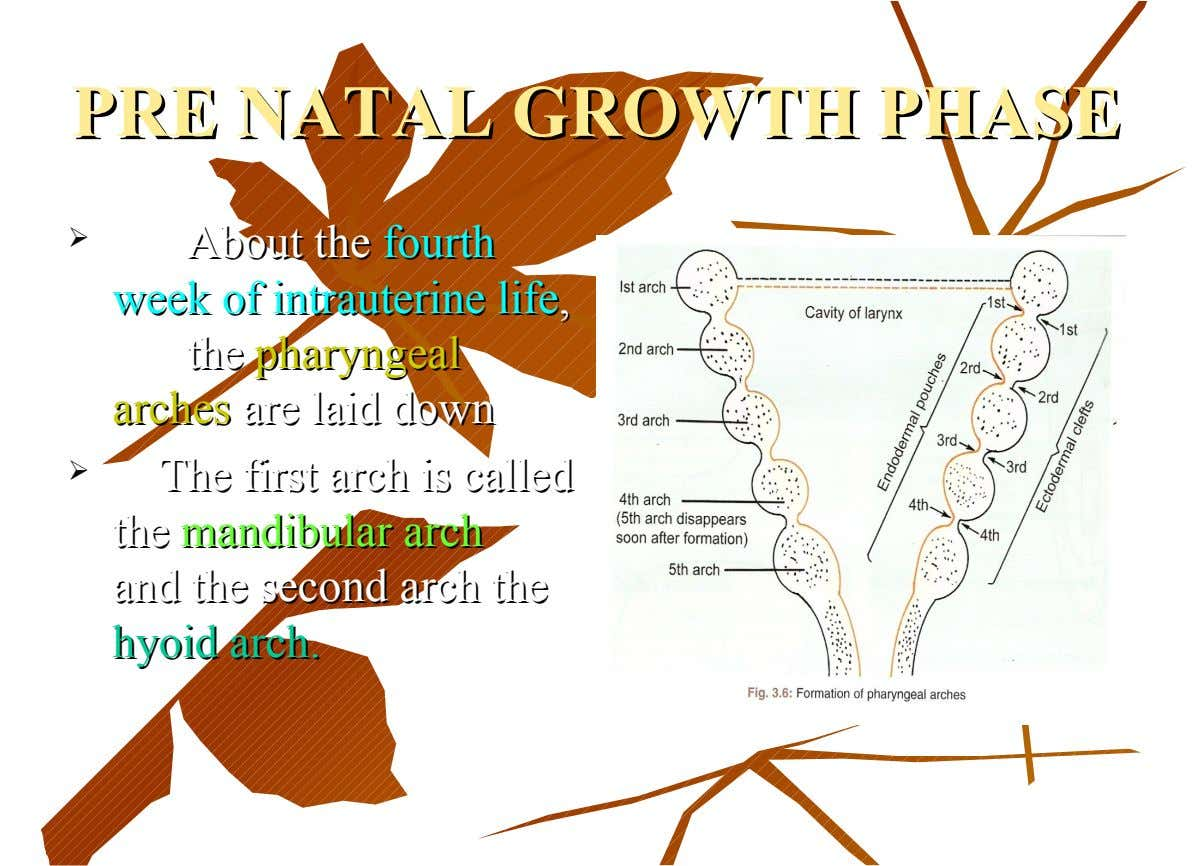 PRE PRE NATAL NATAL GROWTH GROWTH PHASE PHASE  About About the the fourth fourth week