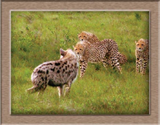 Foundation's African Cheetah Initiative. photo: Ian Whyte and wild dogs within a matrix of land uses
