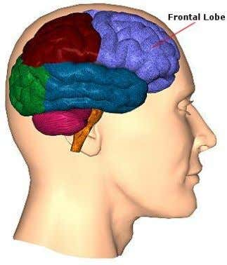 Frontal Lobe  Blood supply - ACA and MCA  Major functions:  personality, behaviour 