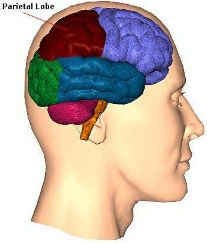 Parietal Lobe  Blood supply – ACA, MCA and PCA  Major functions:  sensory function