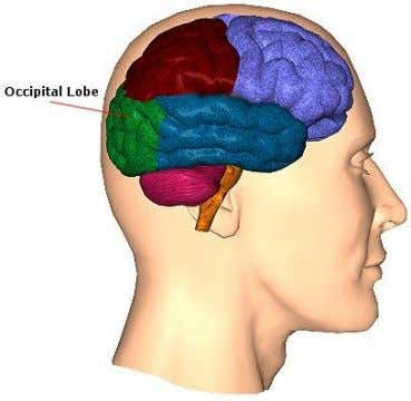 Occipital Lobe  Blood supply - MCA,PCA  Major Functions:  primary visual area  some
