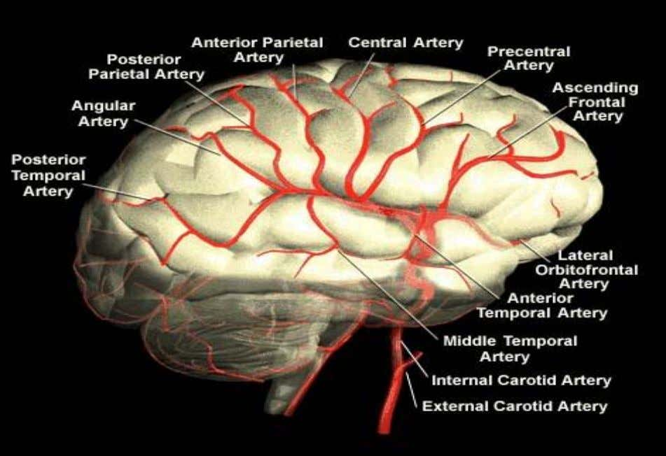 Middle Cerebral Artery 6 http://www.strokecenter.org/education/ais_vessels/ais049b.html