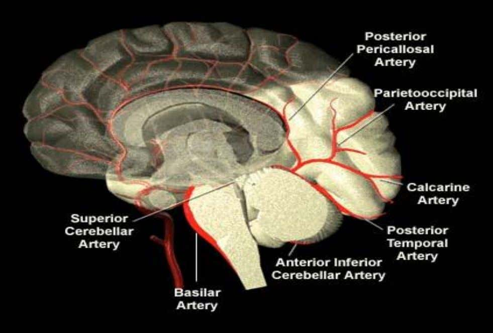 Posterior Cerebral Circulation 7 http://www.strokecenter.org/education/ais_vessels/ais049c.html