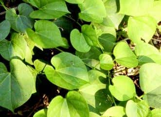 to be necessary for Cuscuta reflexa Picrorrhiza kurroa Tinospora cordifolia efficient scavenging of peroxides from