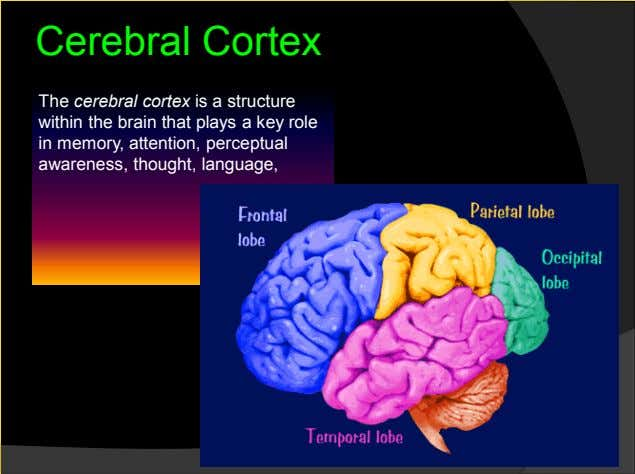 Cerebral Cortex The cerebral cortex is a structure within the brain that plays a key