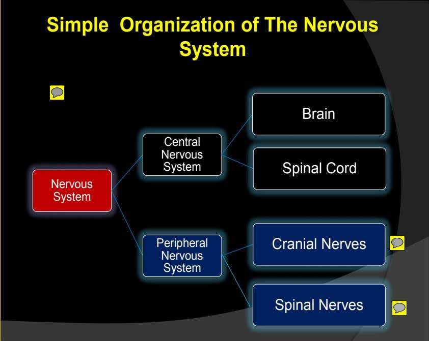 Simple Organization of The Nervous System Brain Central Nervous System Spinal Cord Nervous System Peripheral