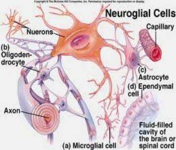 CNS called Tractus → bundle of axon in PNS called Nervus Neuroglial Cell cells that protect