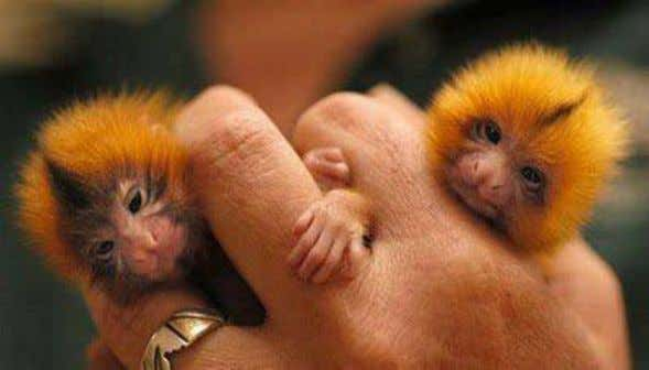 The finger monkey is the tiniest living primate inthe world. It's so small that it can