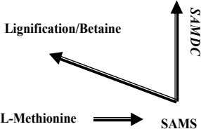 Lignification/Betaine L-Methionine SAMS SA M D C