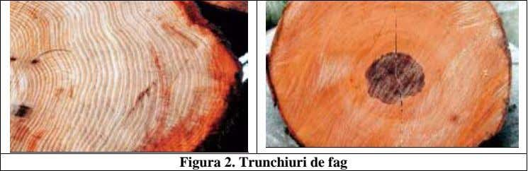 Figura 2. Trunchiuri de fag