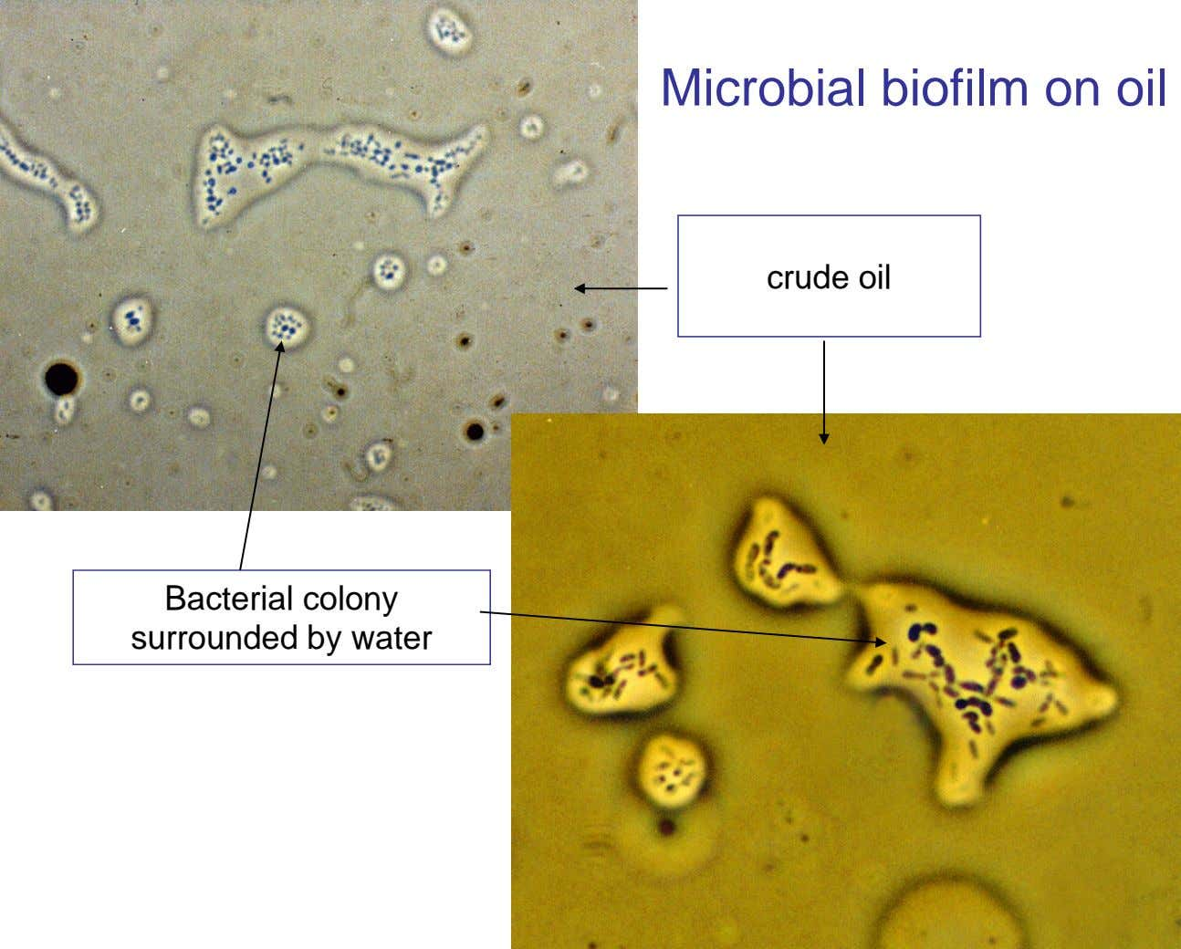 Microbial biofilm on oil crude oil Bacterial colony surrounded by water