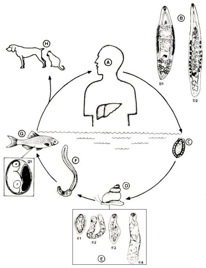 Life cycle of liver flukes A: DEFINITIVE HOST, HUMAN B: ADULT LIVER FLUKES IN BILE