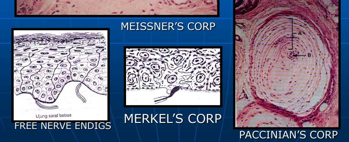 MEISSNER'S CORP MERKEL'S CORP FREE NERVE ENDIGS PACCINIAN'S CORP