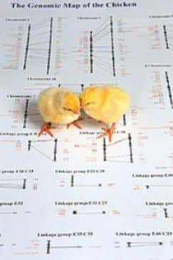 Figure 12: Chicks standing on a picture of a genetic map of a chicken. Mapping