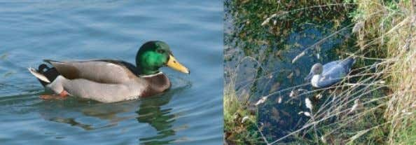 reproduce offspring, respond to its environment, or breathe. Figure 1: Is it a duck? Both of