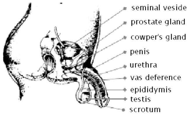 and female reproductive organs. The Male Reproductive System Table 1.1 Parts of the Reproductive System and
