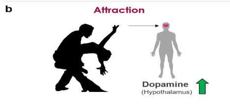 ATTRACTION Norepinephrine is also known as NORADRENALINE, a hormone that plays a large role in the