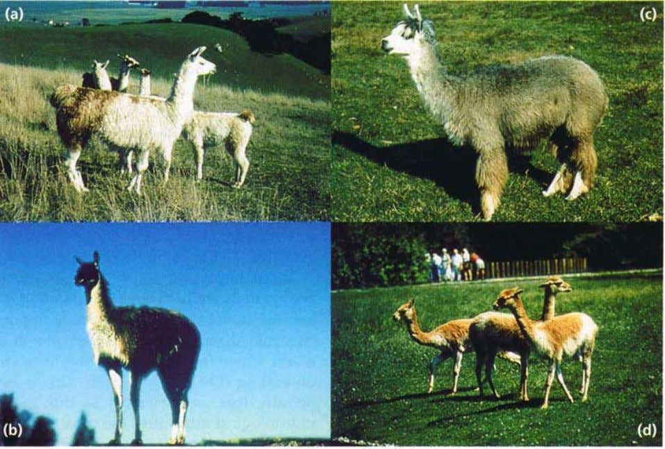 and alpaca (Lama pacos - domesticated) (Fig. 1). The Figure 1 The four different South American