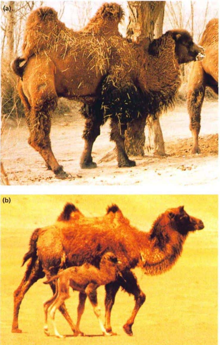 6 Introduction Figure 2a. b (a) The Bactrian camel, rut- ting male (courtesy of Dr. Zhao