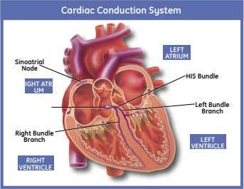 Cardiac Conduction System LEFT ATRIUM Sinoatrial Node HIS Bundle RIGHT ATRI- UM Left Bundle Branch