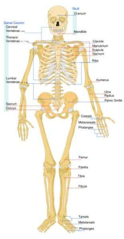 issues with lead poisoning in the body. e.g. during pregnancy. Figure 2.2 - Skeletal System Source: