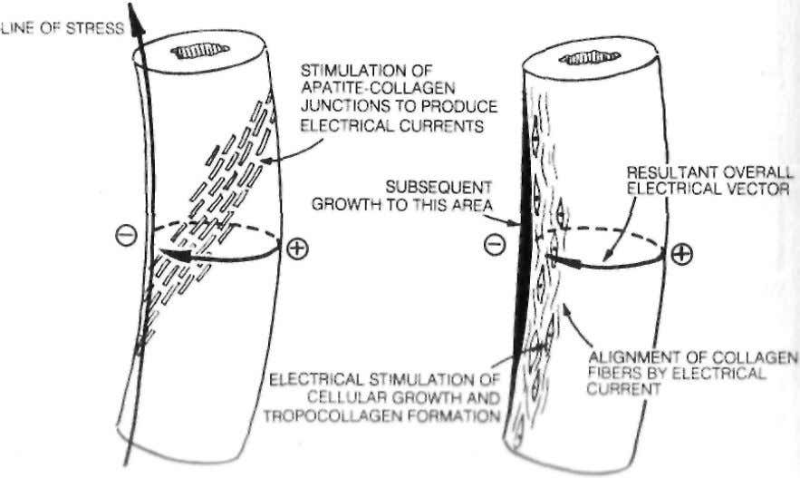 alignment as the collagen fibers of ELECTRIC FIELDS ALIGN COLLAGEN MOLECULES BONE'S ELECTRICAL SYSTEM GUIDES GROWTH