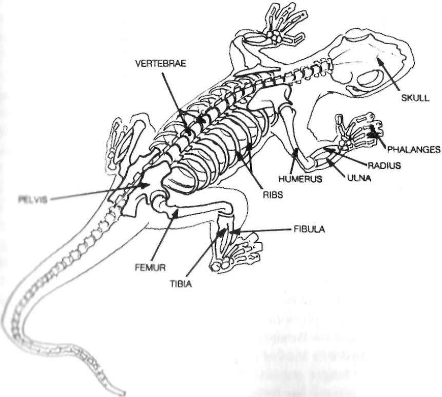 can regenerate, younger individuals do it better than older ones. THE SALAMANDER'S SKELETON - AS COMPLEX