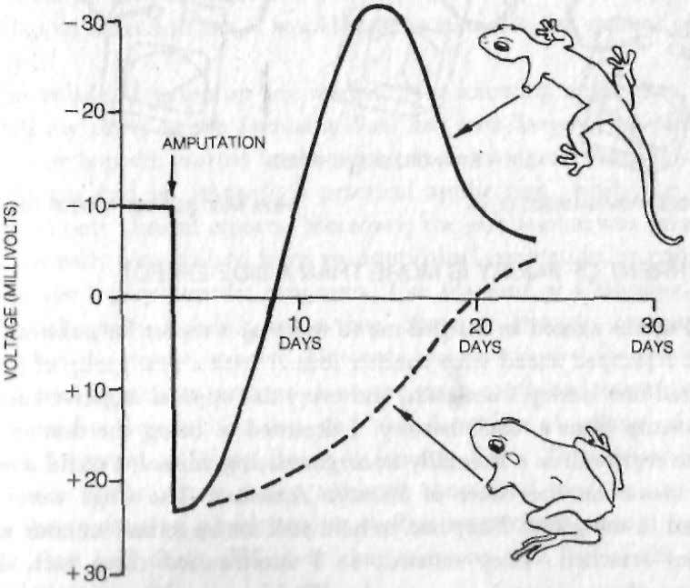 to the original baseline of 10 millivolts negative. THE CURRENT OF INJURY: SALAMANDER VERSUS FROG Here