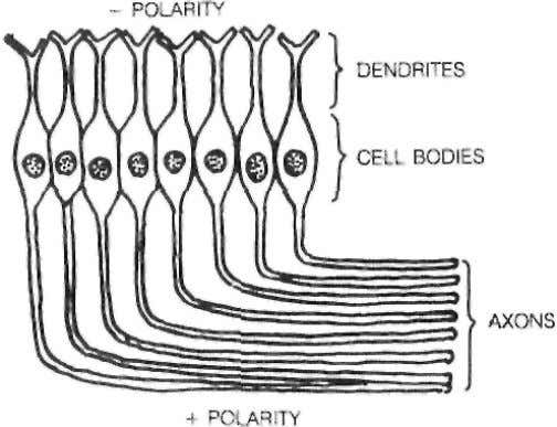 The entire nerv e cell was electrically polarized. POLARIZED NERVE CELLS LINE D UP IN CEREBRAL