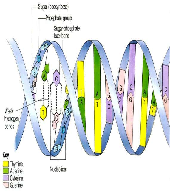 DNA DNA is a nucleic acid that is composed of two complementary nucleotide building block chains.