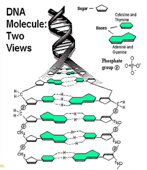 DNA DNA has four nitrogen bases. • Two are purines ( 2 ringed base ) •