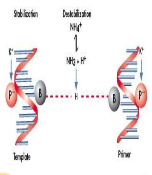POLYMERASE TEMPLATE AND PRIMER REQUIREMENTS • DNA polymerase cannot initiate synthesis on its own. • It